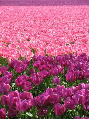 Tulips in full bloom in the Skagit Valley, Washington State