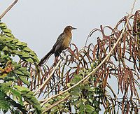 """El zanate nicaragüense (Quiscalus nicaraguensis) es una especie de ave paseriforme de la familia Icteridae que vive en América.2 A veces se le llama informalmente """"cuervo"""", pero en realidad no es pariente de los cuervos verdaderos, los cuales pertenecen a la familia Corvidae. Esta especie habita solo en Nicaragua y en el norte de Costa Rica. Otros nombres comunes: clarinero, zanate de laguna.3"""