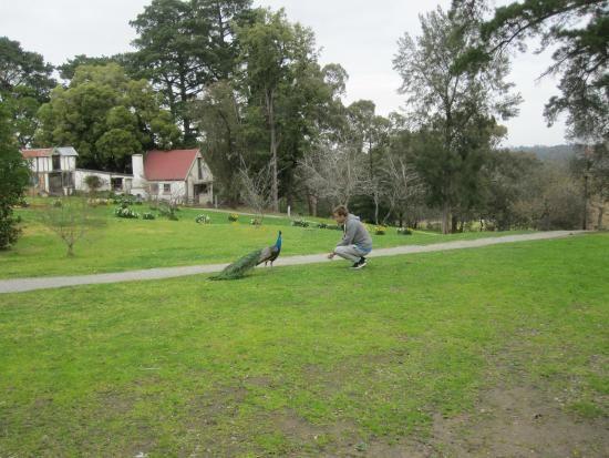 Peacocks at Montsalvat