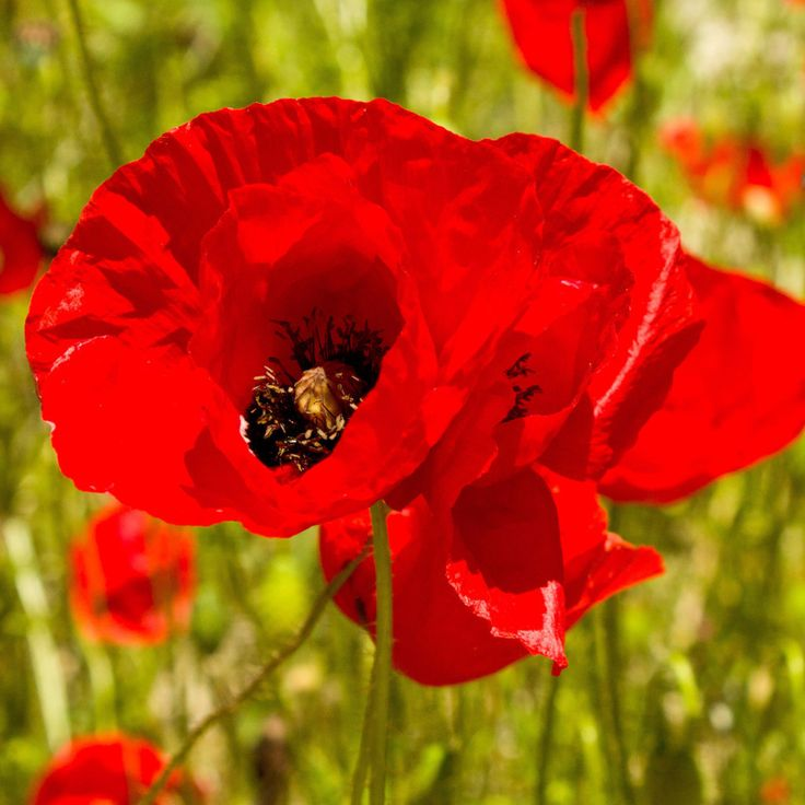 1# Pound Red Corn Poppy Flower Seeds- Papaver Rhoeas