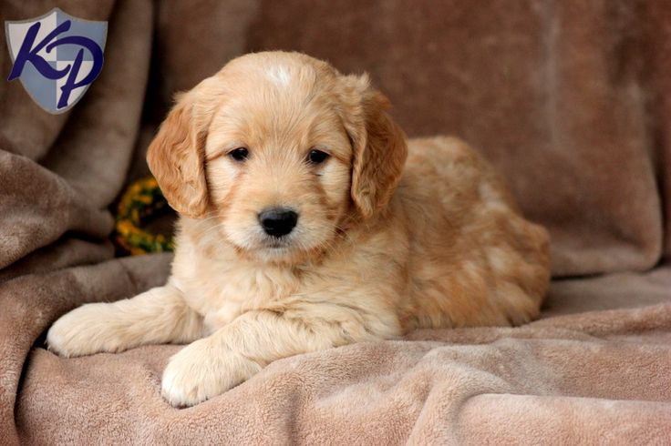 Palmer – Miniature Goldendoodle Puppies for Sale in PA | Keystone Puppies