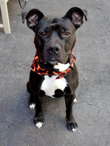 SUPER URGENT! Manhattan Center My name is ZIGGY. My Animal ID # is A1034988. I am a male black american staff mix. The shelter thinks I am about 4 YEARS old. I came in the shelter as a STRAY  A volunteer writes: Mr. Manners, aka Ziggy, aka Gorgeous, is here to answer all your burning canine etiquette questions. How should a dog walk? Well, it looks like this: The leash slack, perfectly at his walker's knee. Cleanliness? No mess in the kennel, relieving himself immediately outside. Table mann