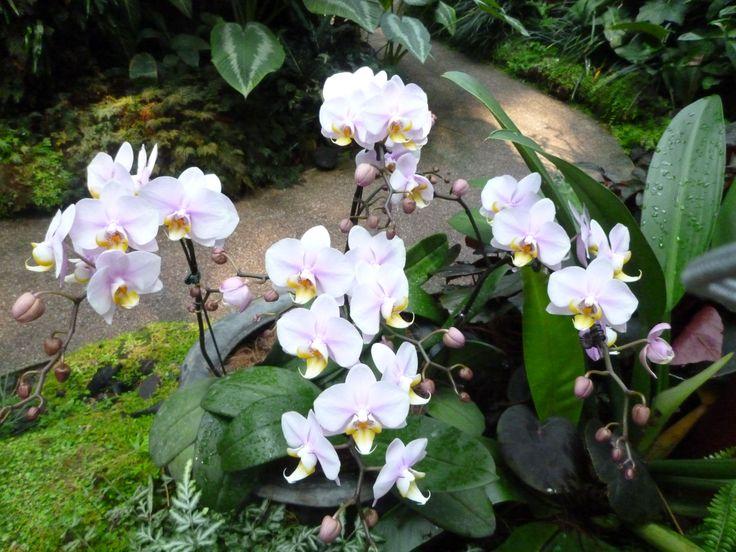 orchids Singapore botanic garden