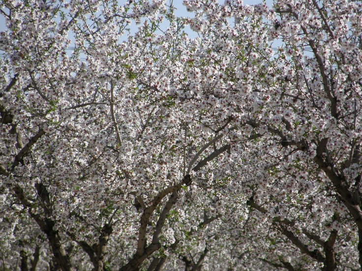 almendros en flor , Perleta