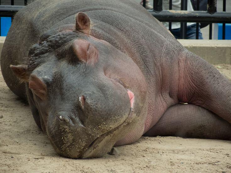 Hippo Asahiyama Zoo, Asahikawa City, Hokkaido, Japan 2014/5/3