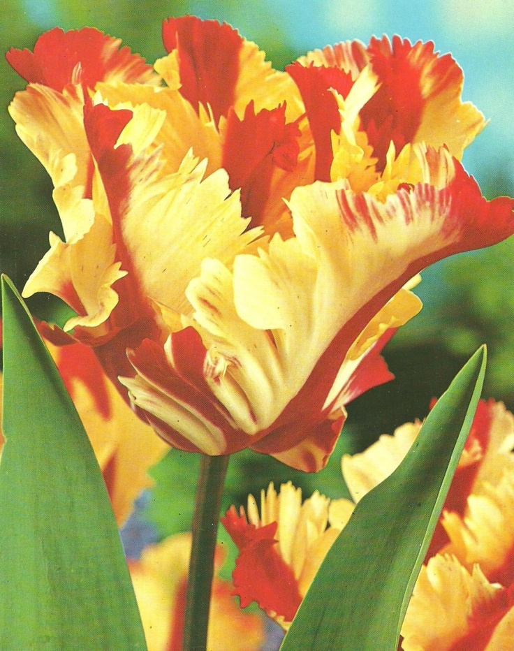 Texas flame tulip plants pinterest tulip tulip bulbs and bulbs for Tulip garden in texas