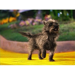 Toto, the most famous Cairn Terrier.