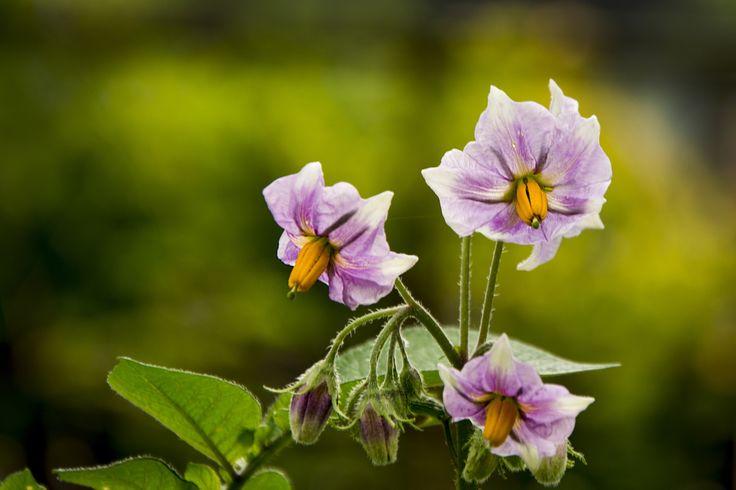 Potato Flowers II by Gabriela Villagrán Backman on 500px