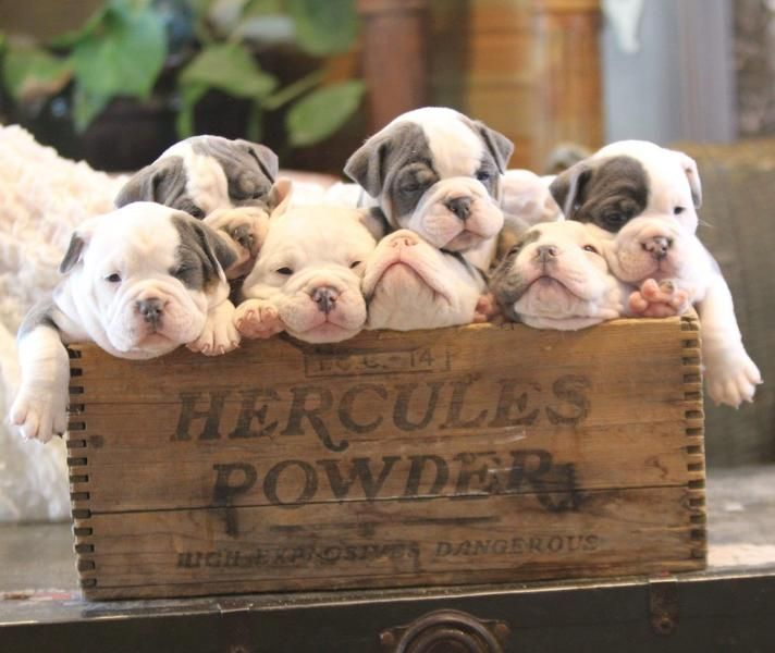 Olde English Bulldogs Animals Beautiful Fur Babies Funny Dogs