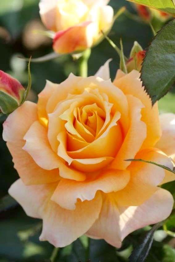 Orange Garden Rose: Best 25+ Orange Roses Ideas On Pinterest