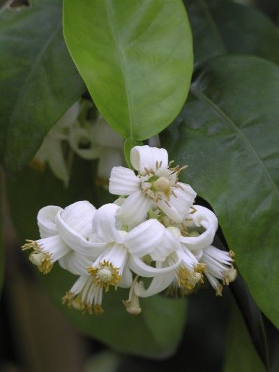 Hand Pollinating Grapefruit Trees: How To Hand Pollinate A Grapefruit Tree -  If you're lucky enough to live in a warm region and grow grapefruit, you may wonder about grapefruit tree pollination. Is pollinating grapefruit trees manually possible and, if so, how to hand pollinate a grapefruit tree? Click here for more info.