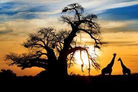 Resultado de imagen para african giraffe