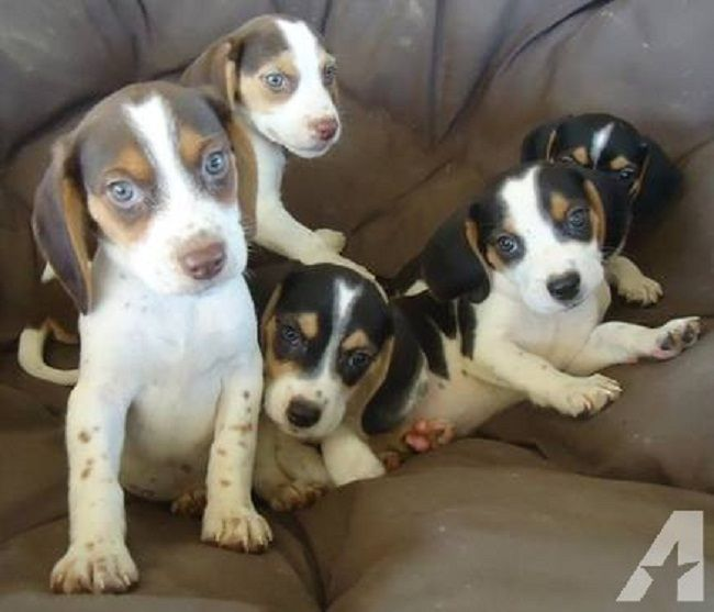 beagle puppies for sale in ohio   Zoe Fans Blog