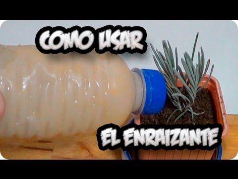 Como Hacer Enraizante Natural Con Lentejas || Germinan Siempre! || La Huertina De Toni - YouTube