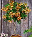 Trompetklimmer op stam 'Indian Summer',1 plant