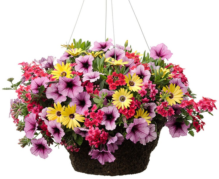 Never Better Hanging Basket - For A Sunny Location