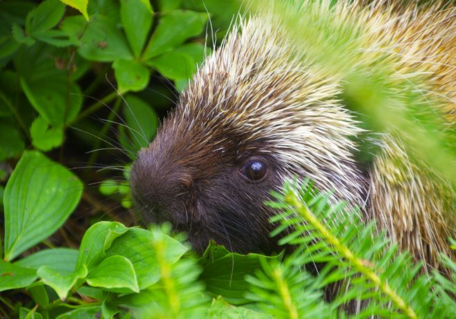 Porcupine I ran into in Forillon National Park