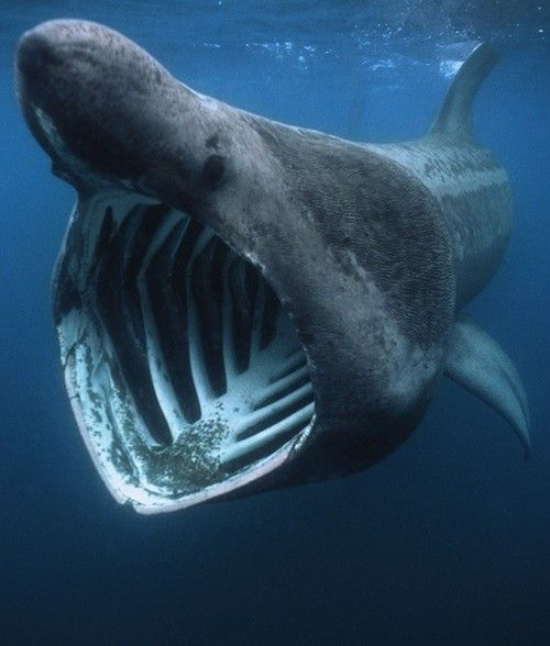 BASKING SHARK   Fun Facts: After the whale shark, the basking shark is the second largest living fish, and can grow up to 32 feet long. These sharks are often mistaken for plesiosaurs, a group of long-necked, predatory marine reptiles that lived at the time of the dinosaurs.