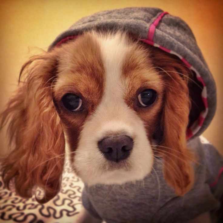 """""""Charlotte"""" King Charles Cavalier ready to go out !!!"""