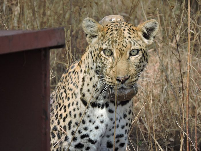 """Leopard with nine lives  -    BRAVO!!!!   """"Brandy, a female leopard, has survived her first year roaming free in the Magaliesburg mountain range of South Africa's North West province. The last day of May marked an eventful year of freedom that included the birth of her cubs in spite of snare injuries that she procured last September."""""""