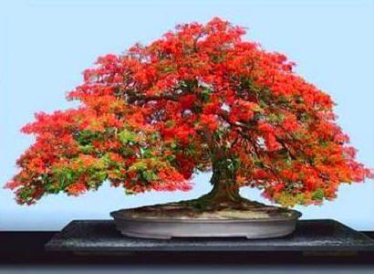 flowering bonzai trees | UK Bonsai Tree - Flowering Quince (Chaenomeles) Bonsai Tree