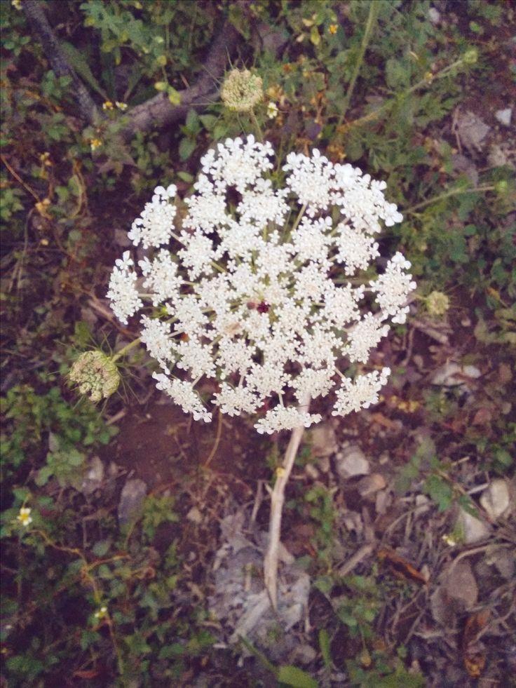 Me encanta esa flor, según google se llama angelica edulis :S #photography   #nature   #flowers   #angelicaedulis   #campo   #Pichasca