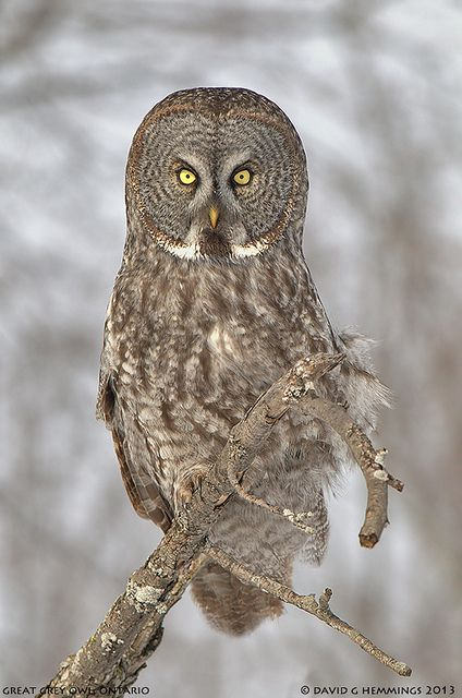 I saw one today on the Des Moines Creek Trail~~Great Grey Owl by Nature's Photo Adventures - David G Hemmings~~