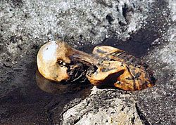 September 19 – Ötzi the Iceman is found in the Alps. Ötzi the Iceman half uncovered, face down in a pool of water with iced banks