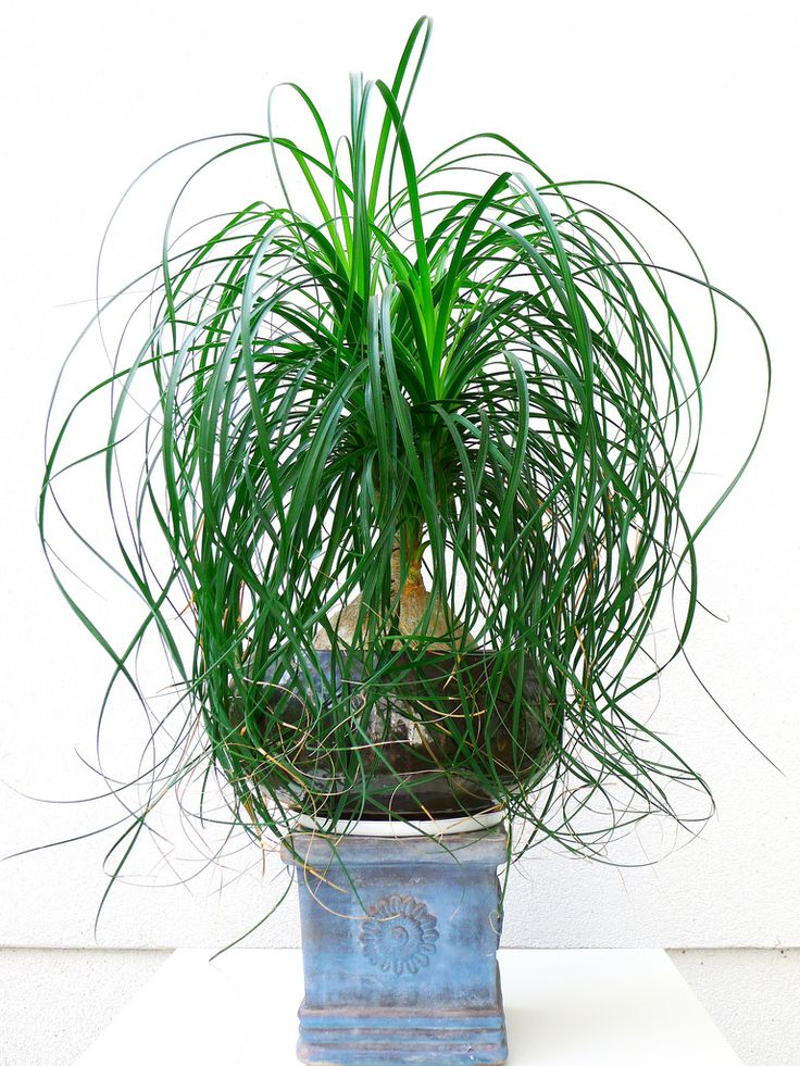 how to care for a ponytail palm plant