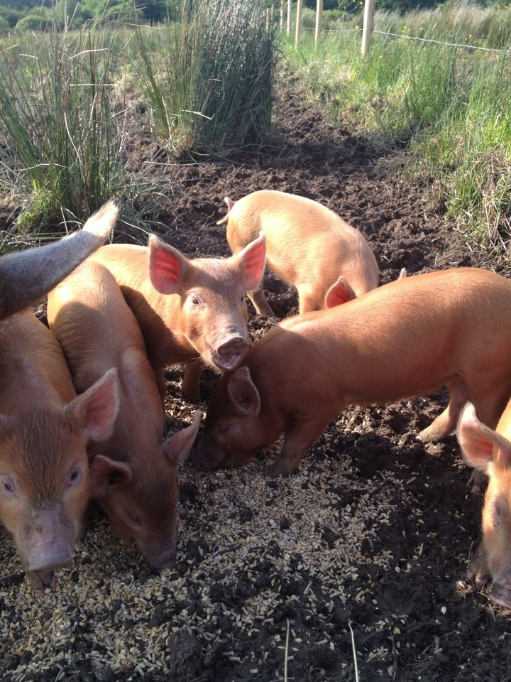 Our piglets are getting big