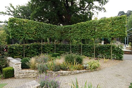pleached trees above hedge/how to pleach