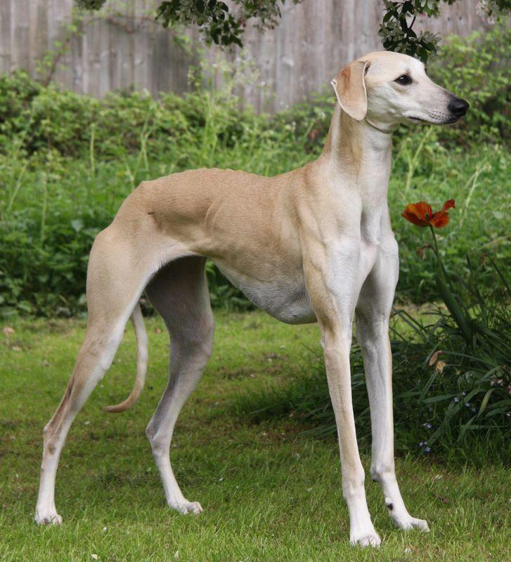 Sloughi Berber Greyhound Sloughi Moghrebi Arabian
