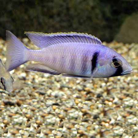 1000 images about tropical fish tank on pinterest for Deep water fish