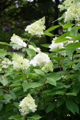 Quick bit about pee gee hydrangeas with good hydrangea care links.