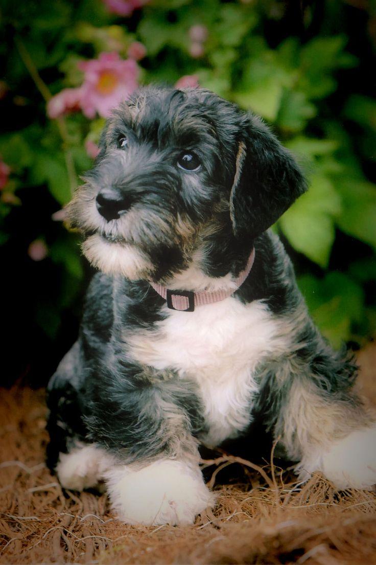 Cesky Terrier Bejla 10 weeks old