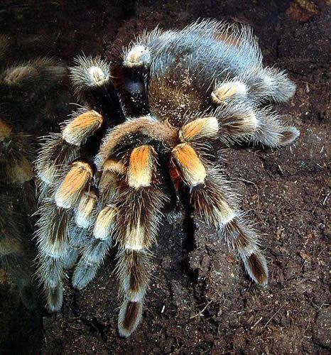 5 Questions to Ask Yourself Before Getting a Pet Tarantula: Mexican Redknee Tarantula (Brachypelma smithi)