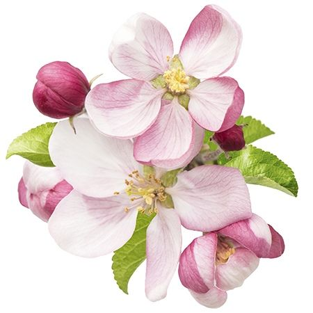 Apple Blossom Flower Meaning