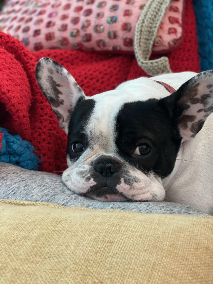 I could mush those jowls for days french bulldogs
