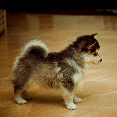 Pomsky.. a Husky that stays tiny, so you can keep him in a small place. OMG so cute! I WANT IT