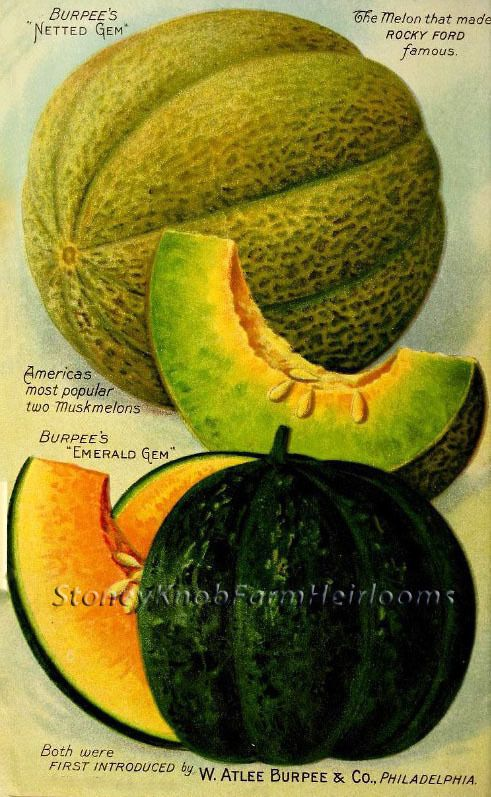 Burpee Seeds 1916 Gem Melons  ~ Vintage Seed Catalog Art ~ Cross Stitch Pattern #StoneyKnobFarmHeirlooms #FramedPicture
