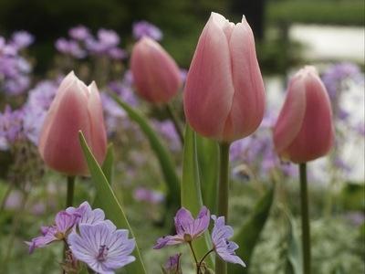 Tulipa Gabriella