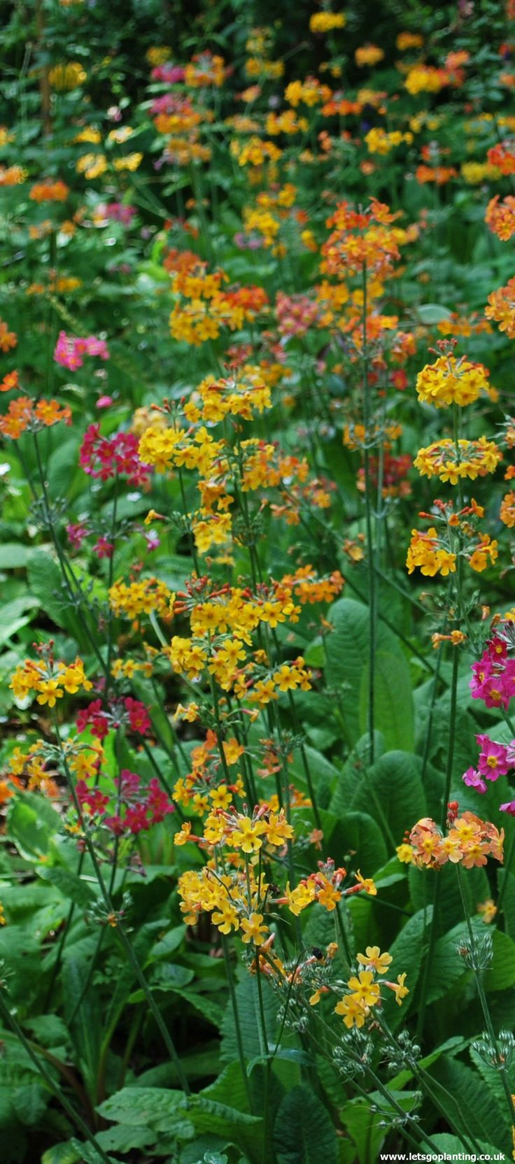 27 Best Pretty Primulas Images On Pinterest Beautiful Flowers