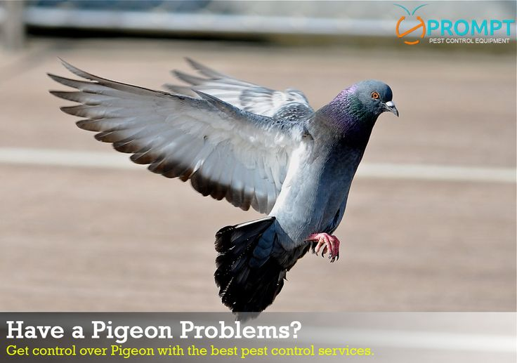 Have a Pigeon Problems? How to stop them before they ruin your property and life? Here are some best methods to prevent these birds effectively.    #Pigeon_Problems