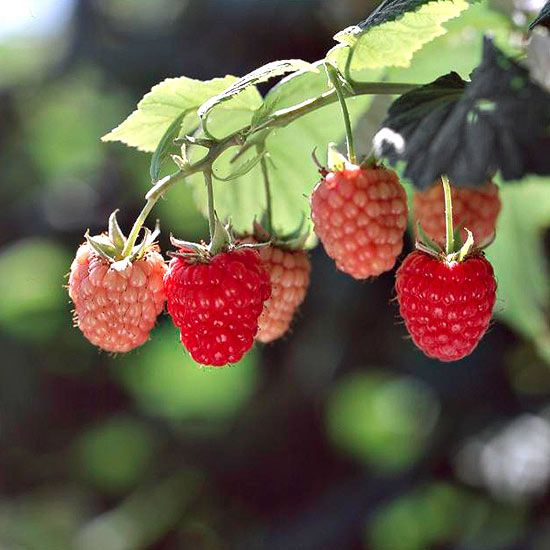 17 Best images about fruitberries – Better Homes and Gardens Plant Encyclopedia