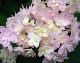 Panicule hortensia 10 graines par CucamelonShop sur Etsy