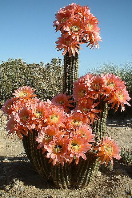 Cactus flower--can't believe this will bloom in the dead heat - . with no water, beautiful