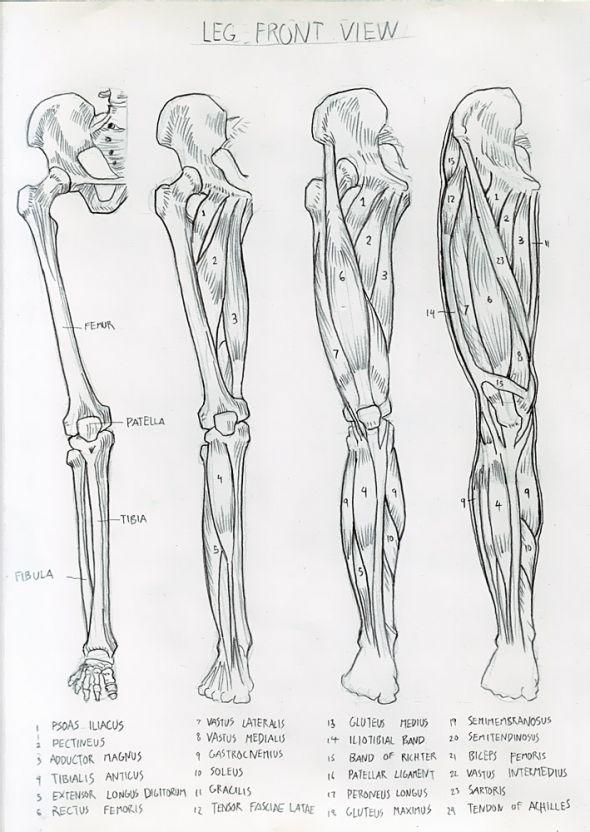 Anatomy Study 023 Anatomy Sketches Anatomy Art Human Anatomy Art