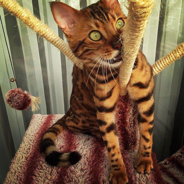 Thor, o gato-de-bengala, é um desses felinos que te olha diretamente na alma e além. Basta olhar para os seus olhos verde esmeralda escondidos sob seu pêlo belo – ele é mesmo real?