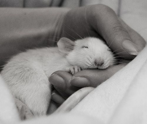 A sleeping rattie in the hand is worth two in the... ?