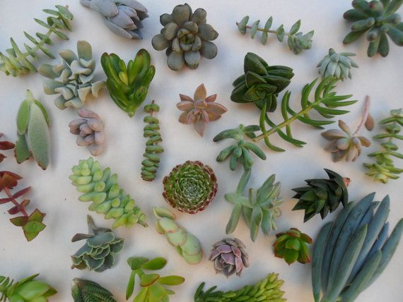 40 Succulent Cuttings QUALITY A Nice by SucculentsGalore on Etsy